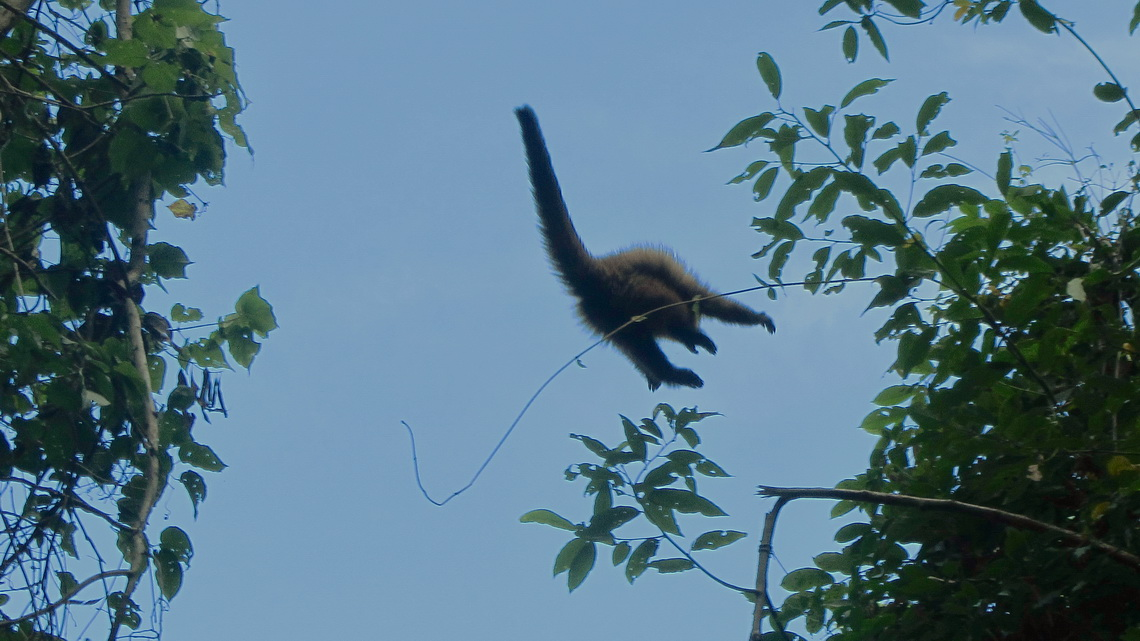 Flying monkey in the Parque Nacional Calilegua