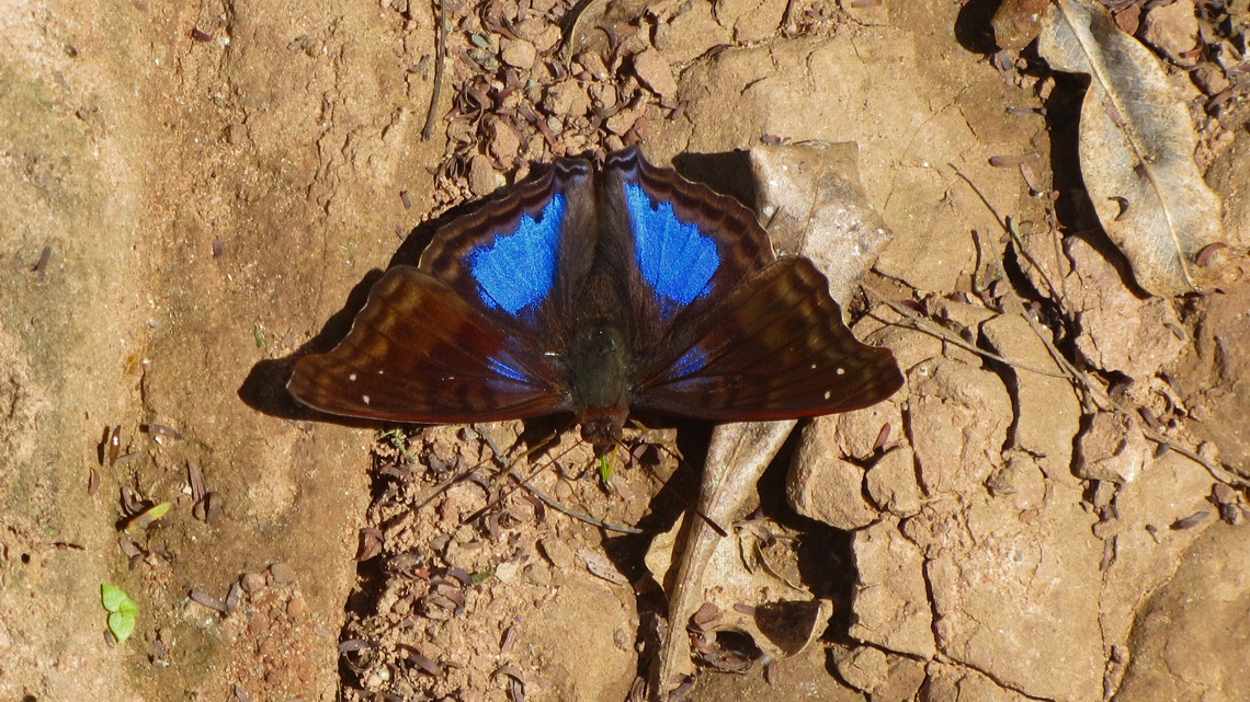Blue butterfly on shore of Rio Negrito in the Parque Nacional Calilegua