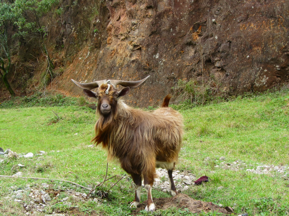Billy goat, from Switzerland?