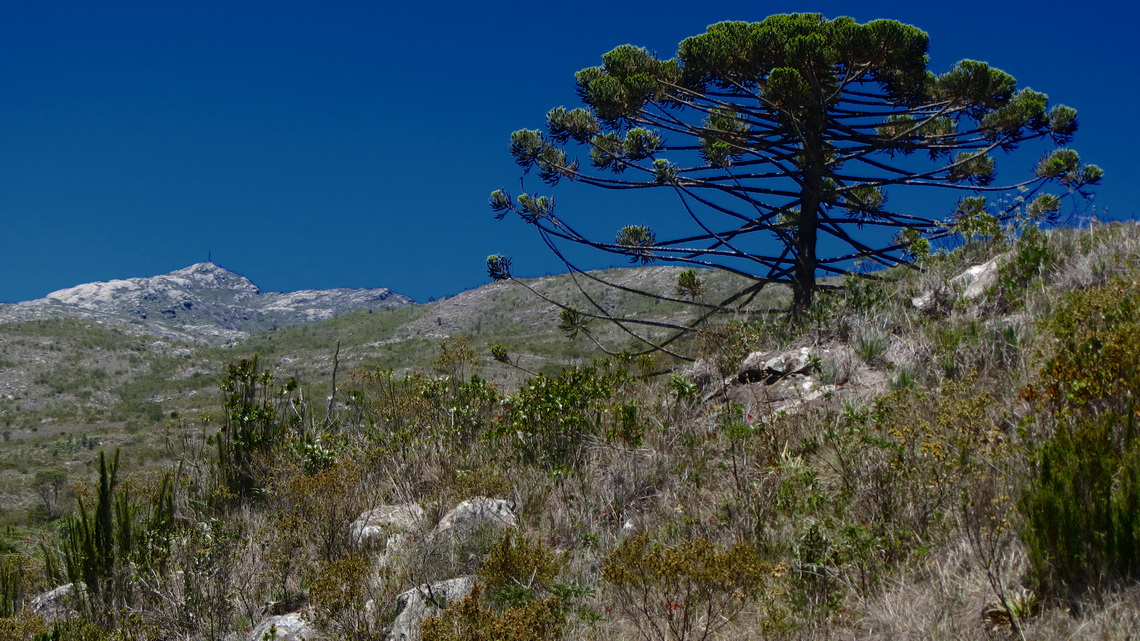 Araucaria tree with Pico da Bandeira, seen from the way between the camps Tronqueira and Terreiao