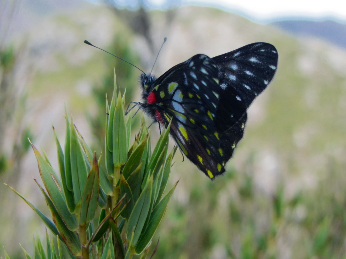 Butterfly on top of Pico da Bandeira