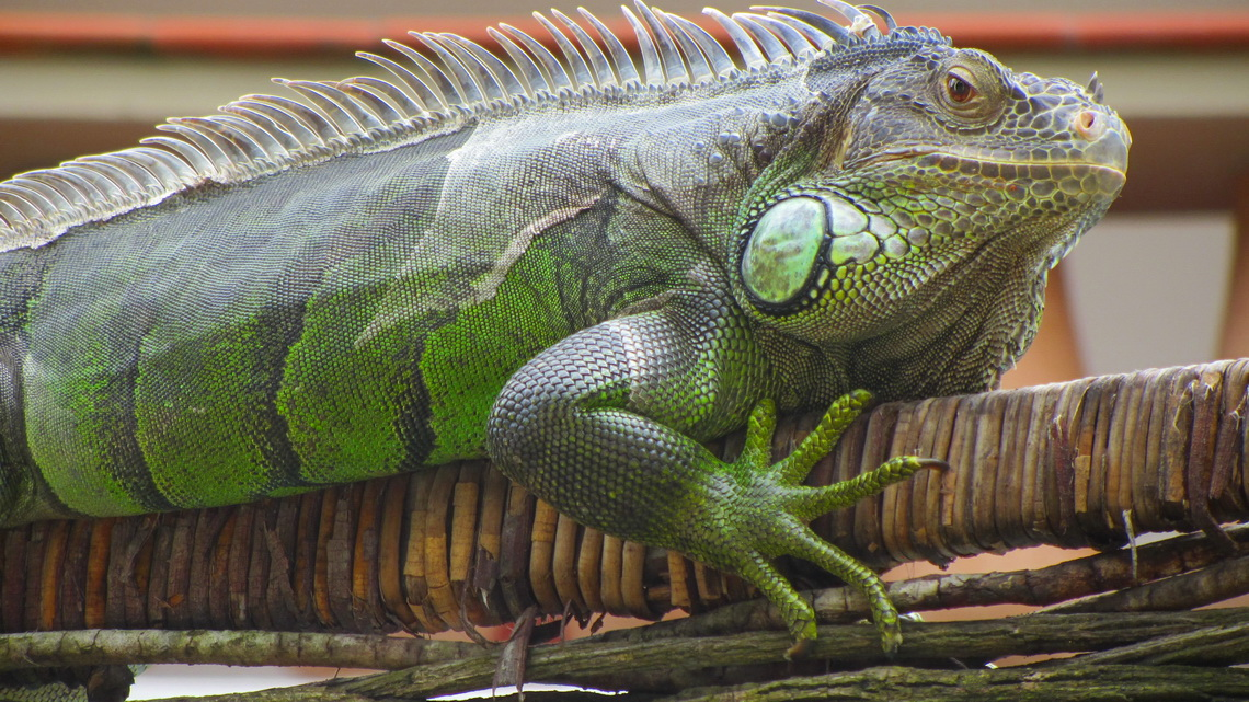 2 meters long Iguana on a palisade of a guest-house in Morro de Sao Paulo