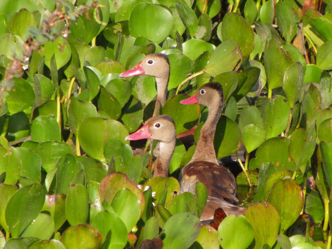 Ducks with pink beaks