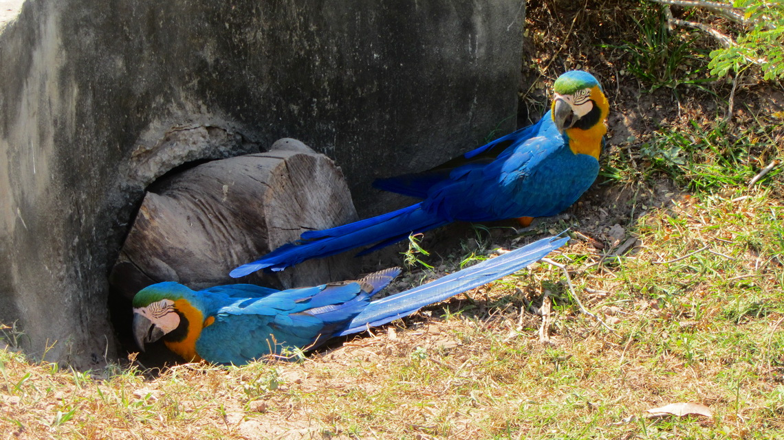 Two angry Macaws looking for a way to their nest