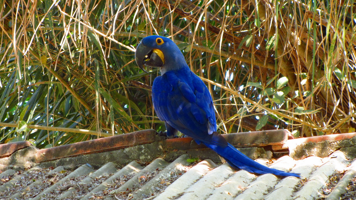 Blue Macaw watching us
