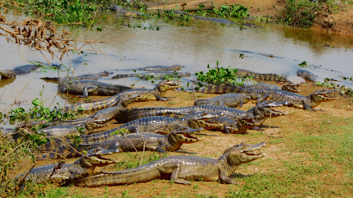 Crocodiles very near to the street
