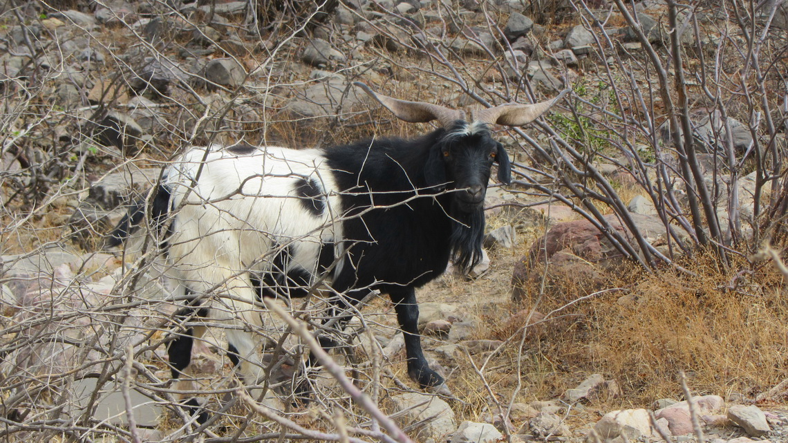 White and black goat