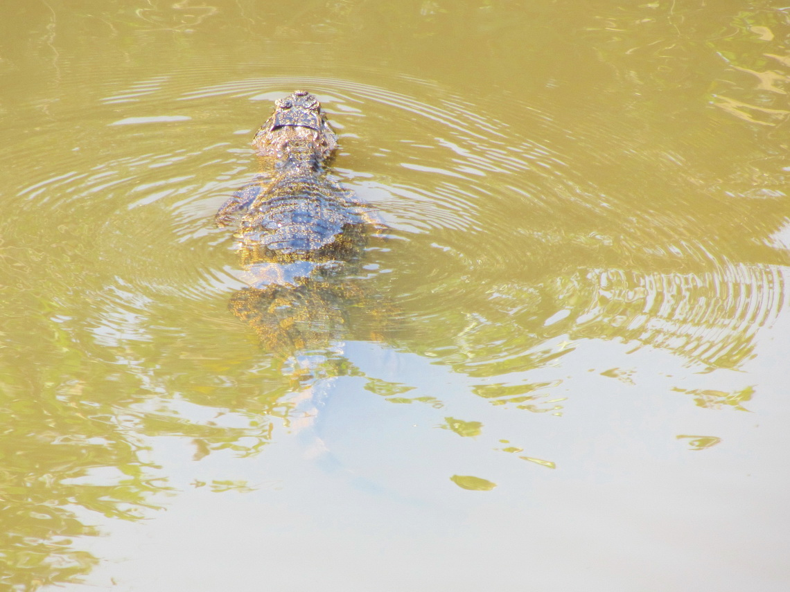 Our first crocodile in South America close to the Bolivian / Brazilian border