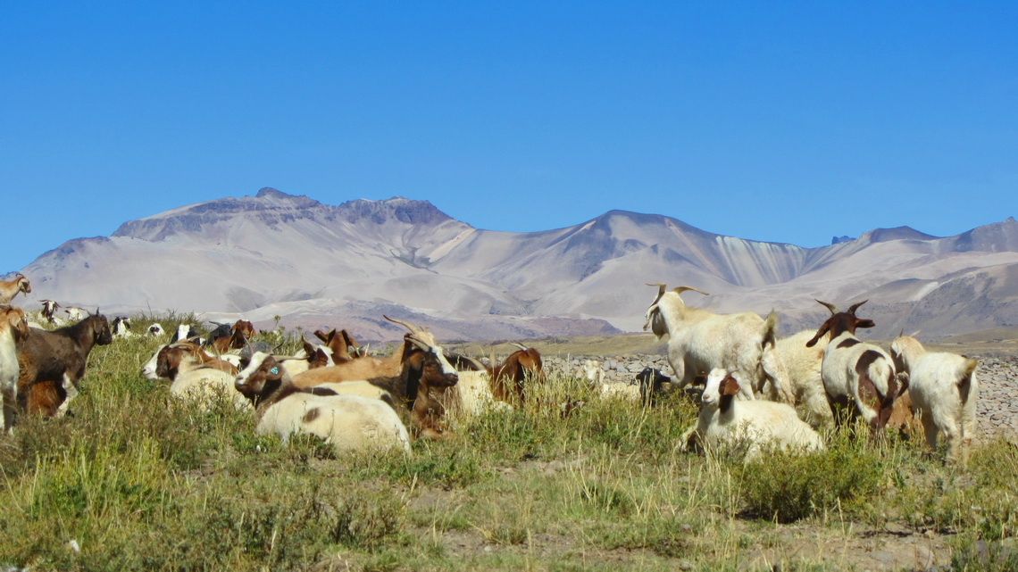 Goats close to Lago Maule