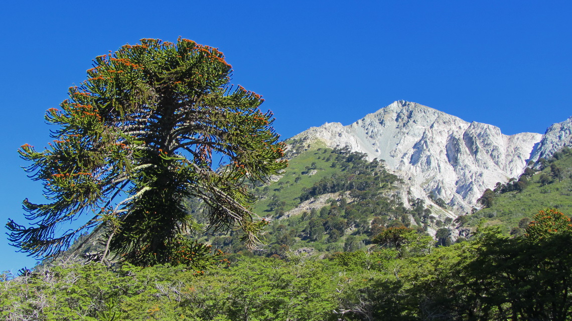 Araucaria with Cerro Impodi seen from the pass between Lago Moquehue and Lago Norquinco