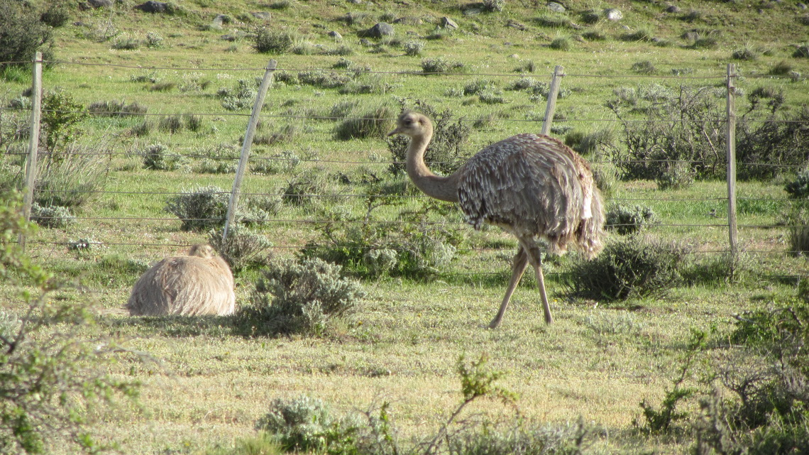 Rheas close to our car