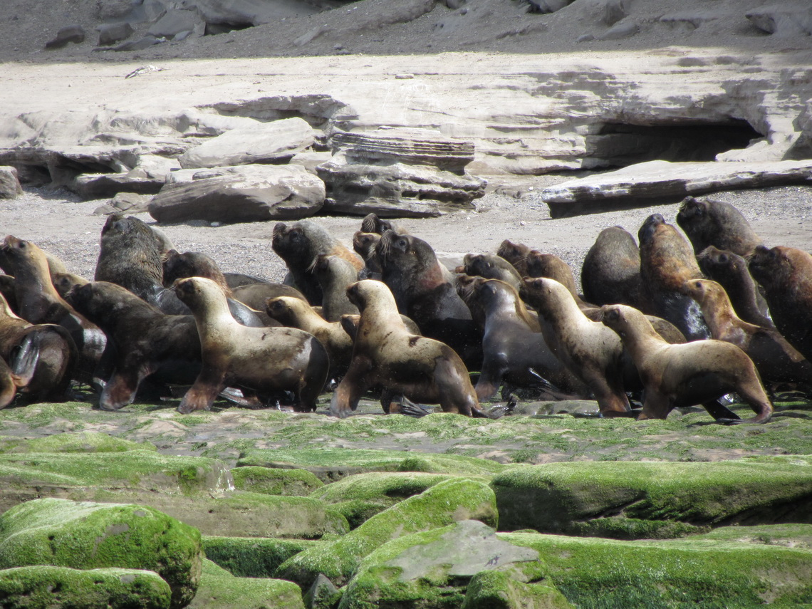 Walking Sea Lions