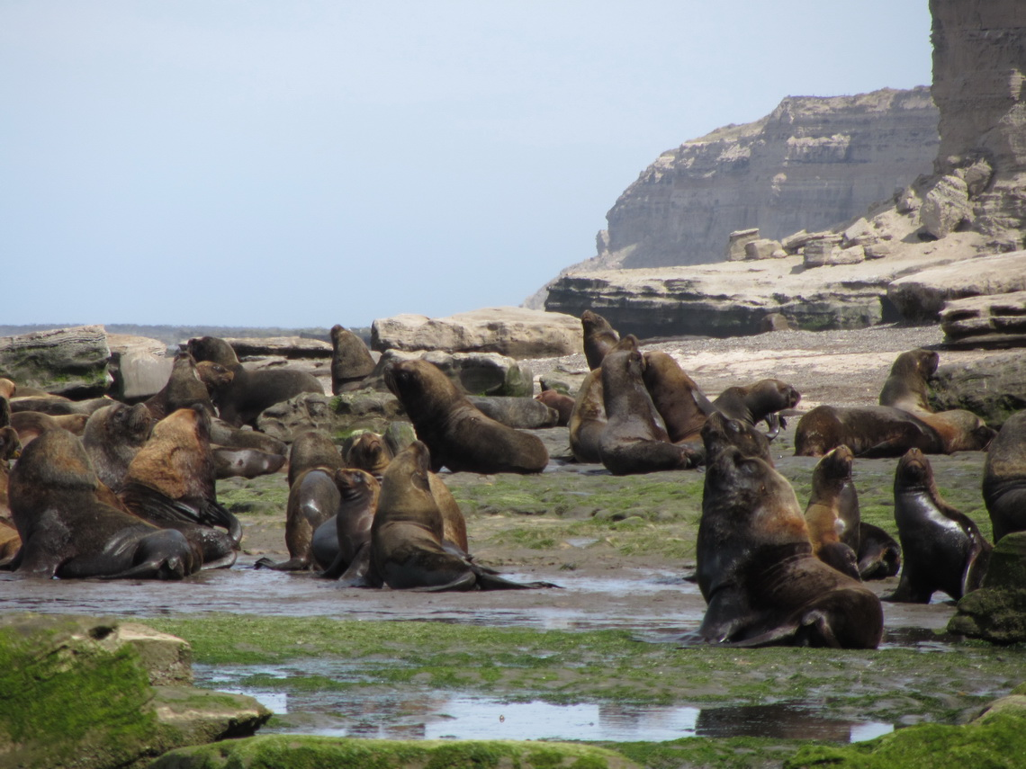 Sea Lions with the cliff in the background