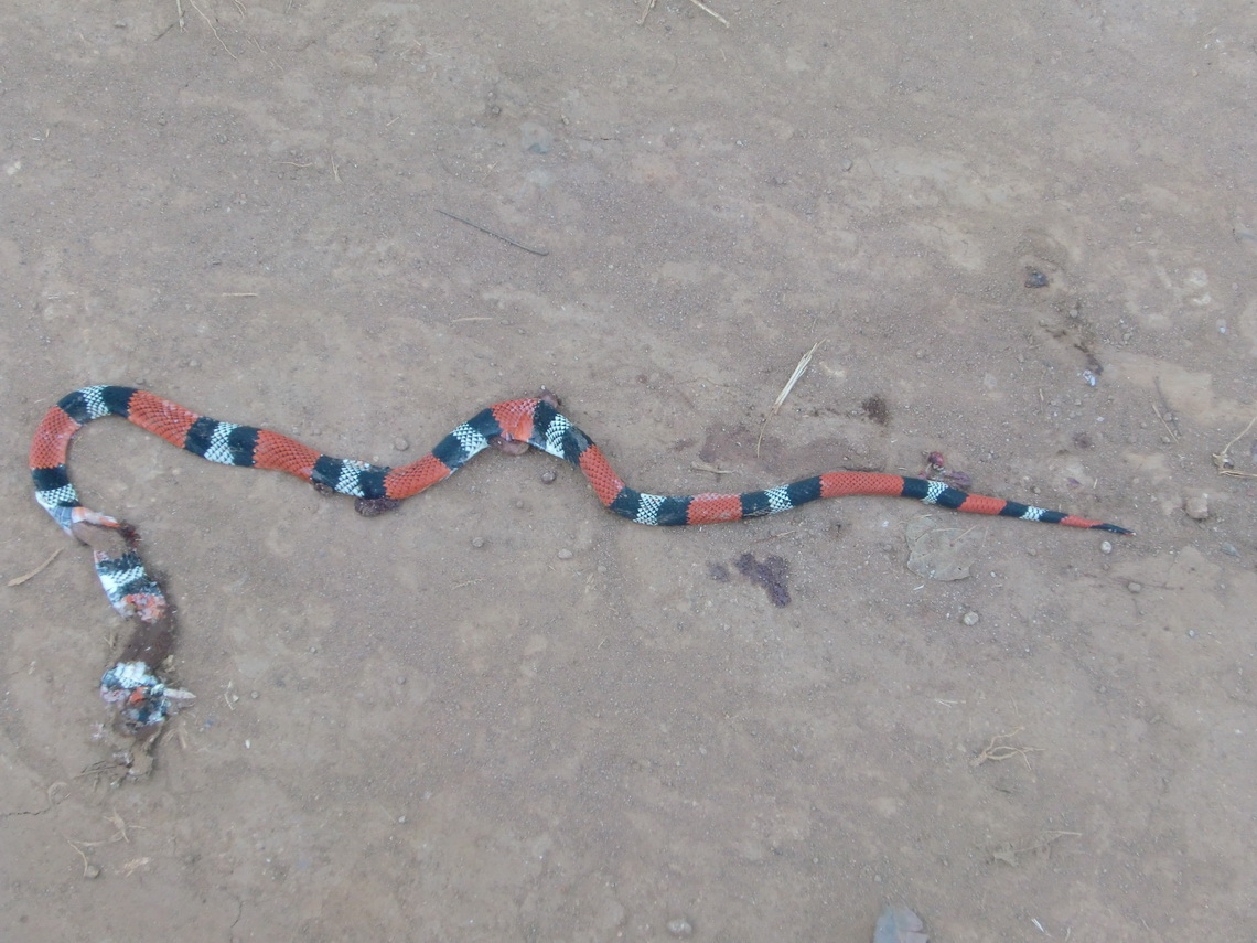 The 5 minutes snake - very poisonous and dangerous