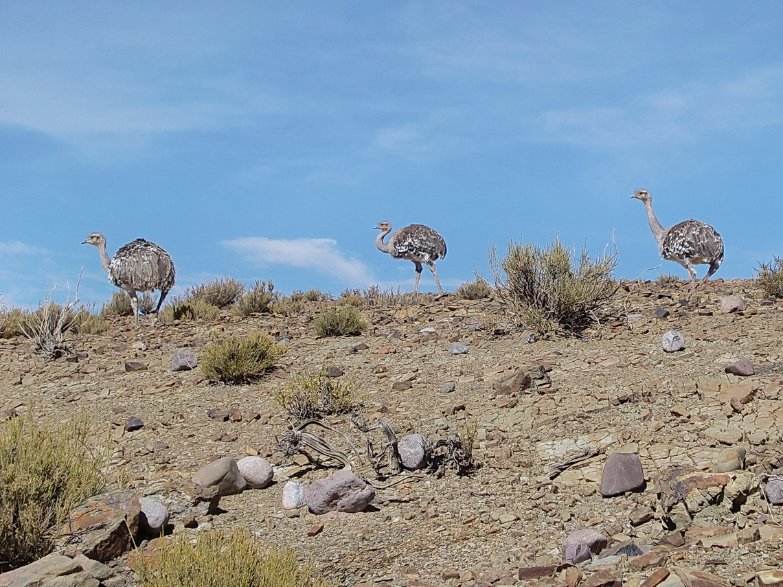 Three Rheas, the Ostriches of Southamerica